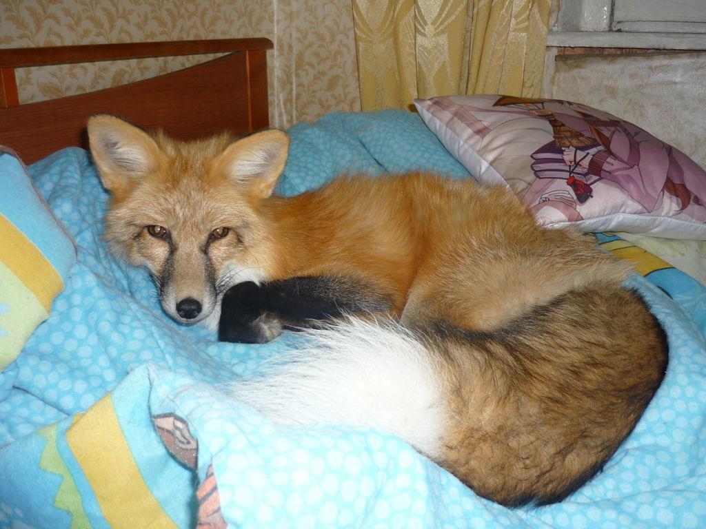 Для лисы необходимо создать дополнительные условия проживания
