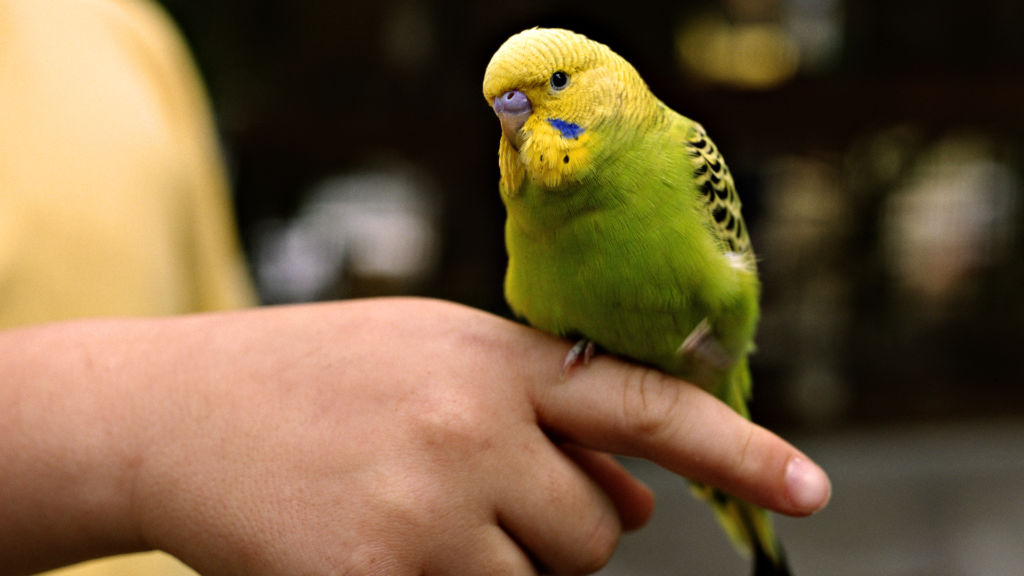 Волнистые попугаи считаются самыми говорливыми