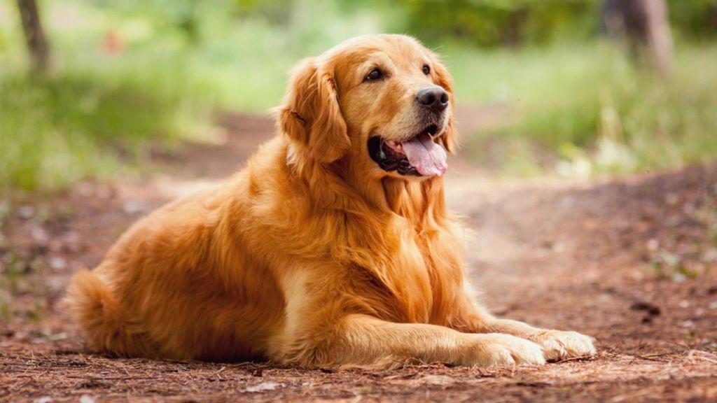Лабрадор ретривер - крепкая, здоровая, выносливая собака