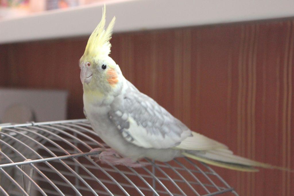 Попугаи Кореллы сильно подвержены стрессам