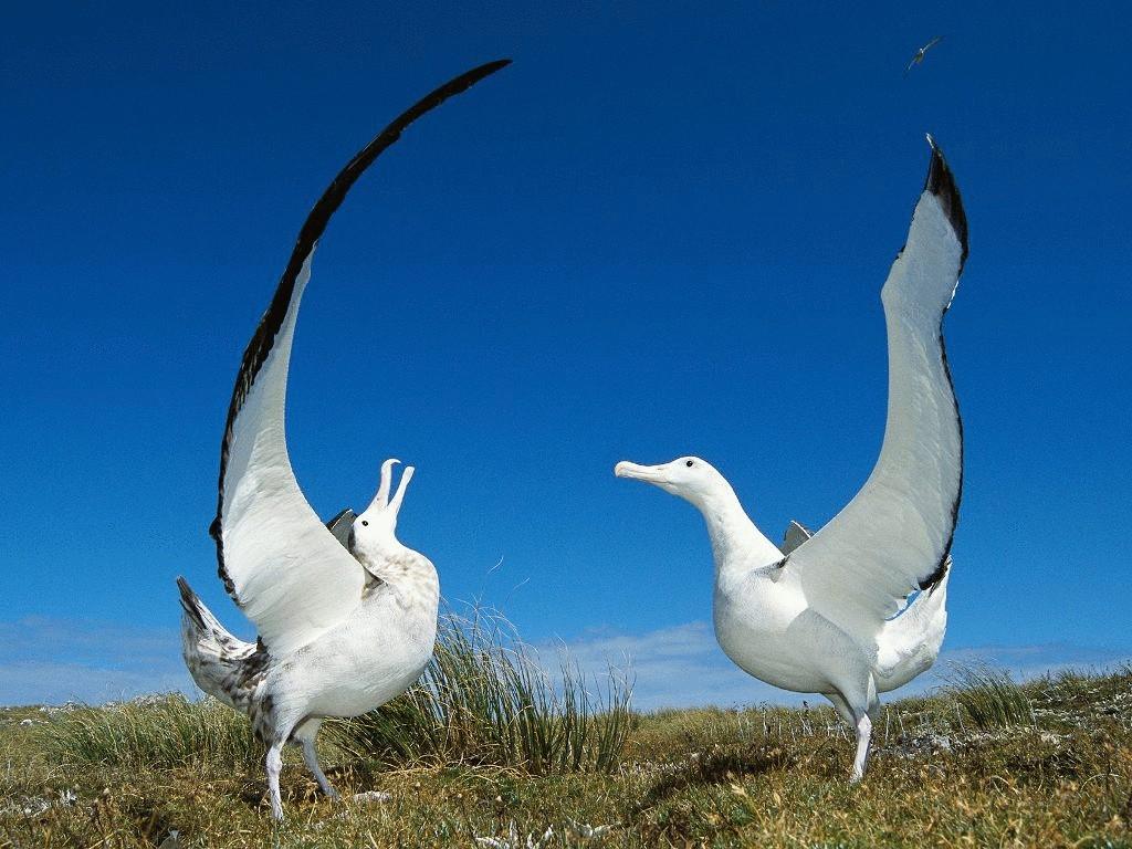 Белоспинный альбатрос - гигант воздушного плавания
