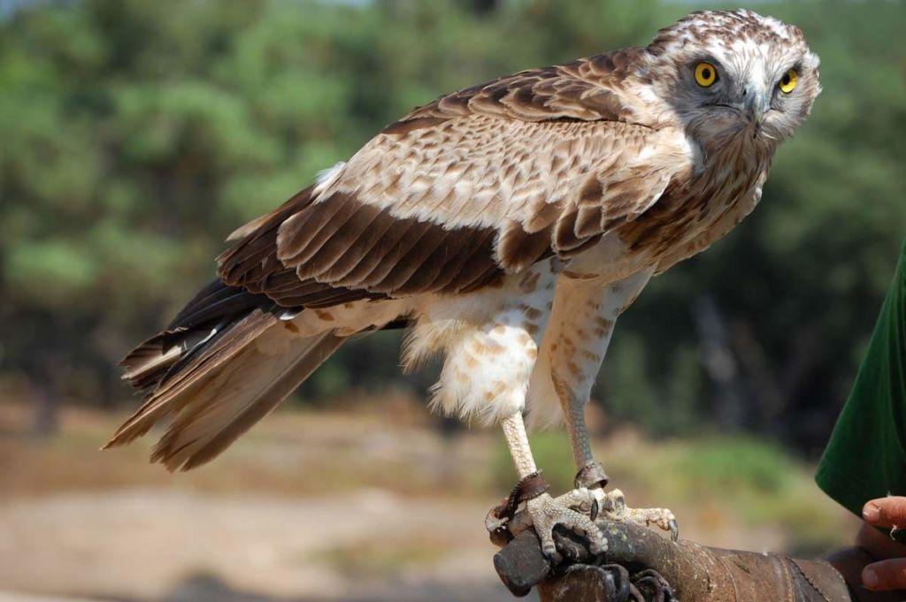 Орел-змееяд