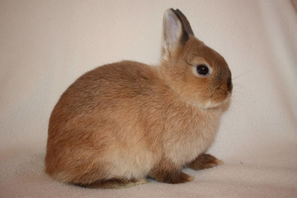 Правильный уход и содержание карликового кролика