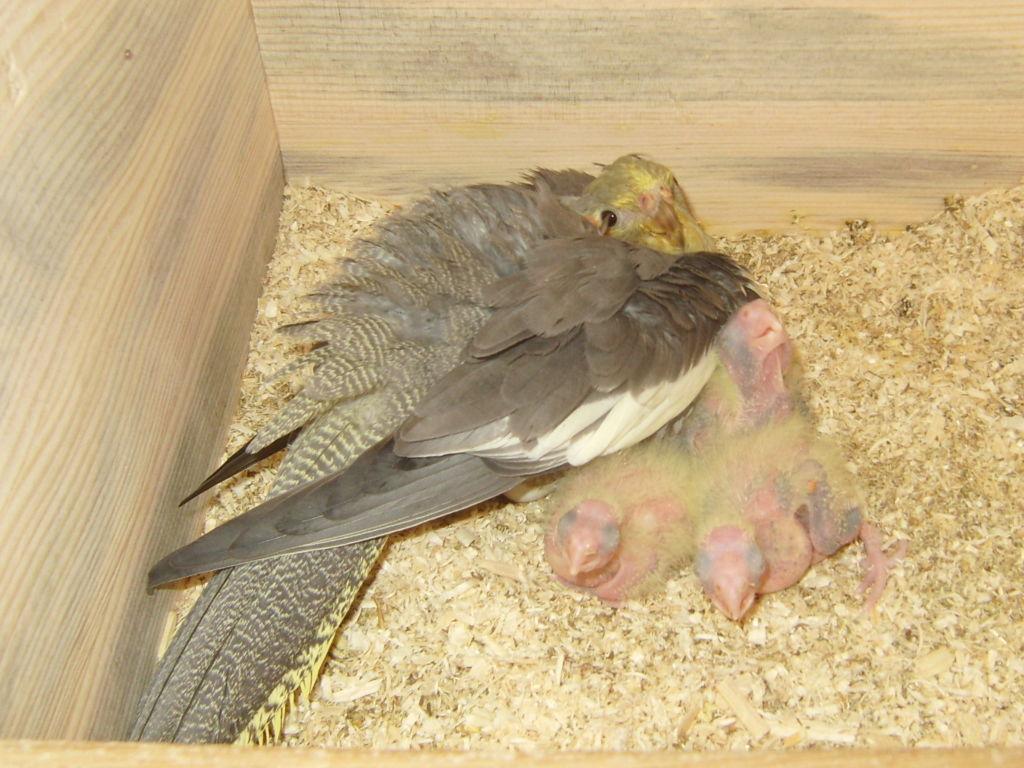 Для размножения попугаев корелла необходимо грамотно организовать необходимые условия по содержанию как родителей, так и будущих птенцов