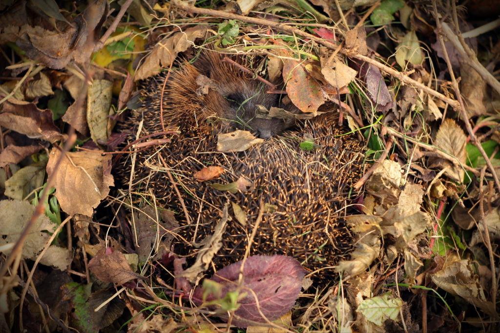 С наступлением заморозков ежики зарываются в опавшие листья, скручиваются в неплотный клубок и впадают в зимнюю спячку