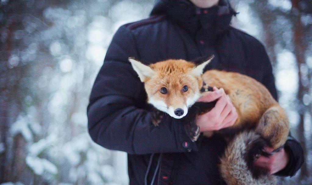 Вычесывают лис только в период линьки