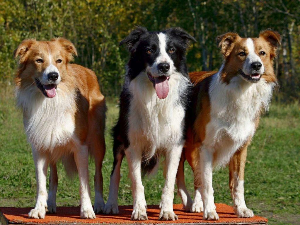 Бордер колли - самые лучшие пастушьи собаки