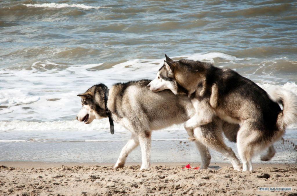 Правила размножения собак - как правильно спариваются и почему слипаются