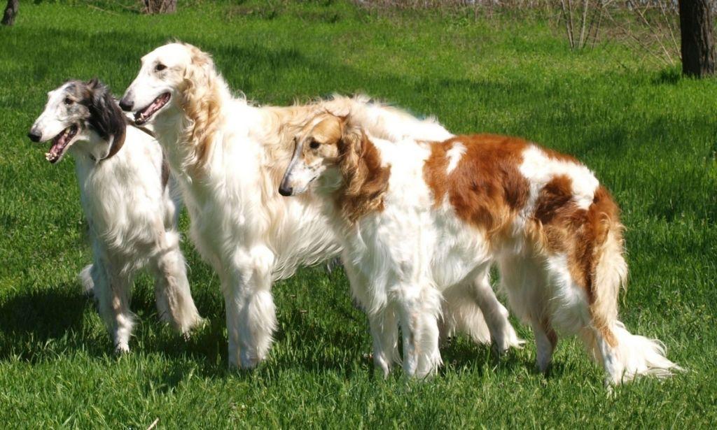 9 русских признанных пород собак