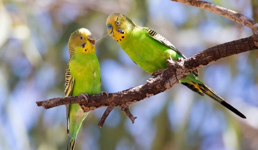 Что едят волнистые попугаи и рацион питания в домашних условиях