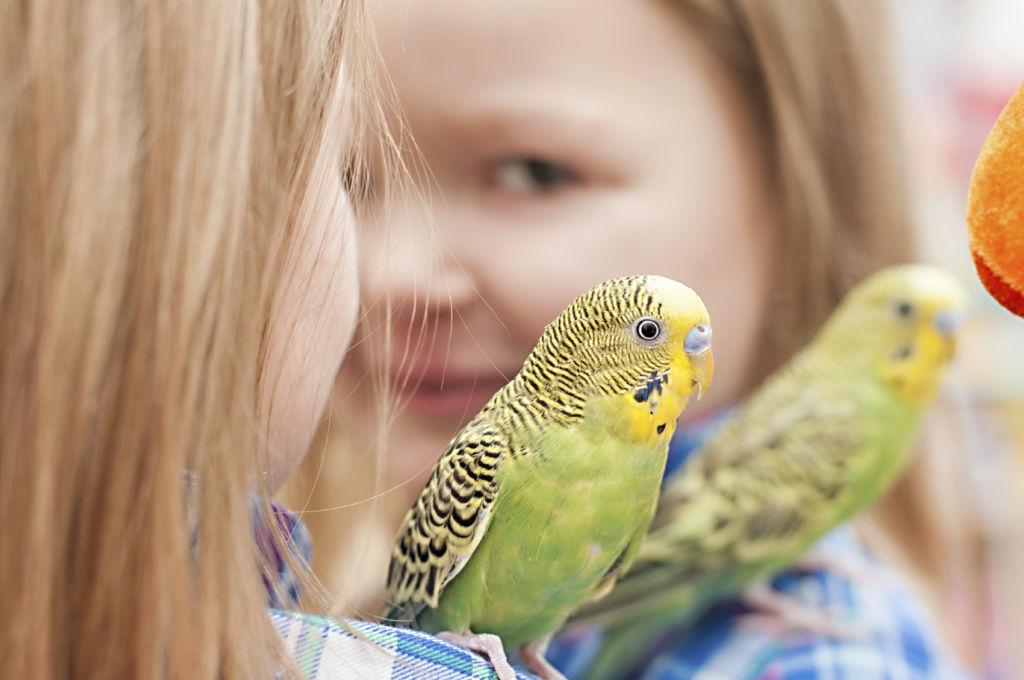 Правильный уход за волнистым попугайчиком и его содержание в домашних условиях
