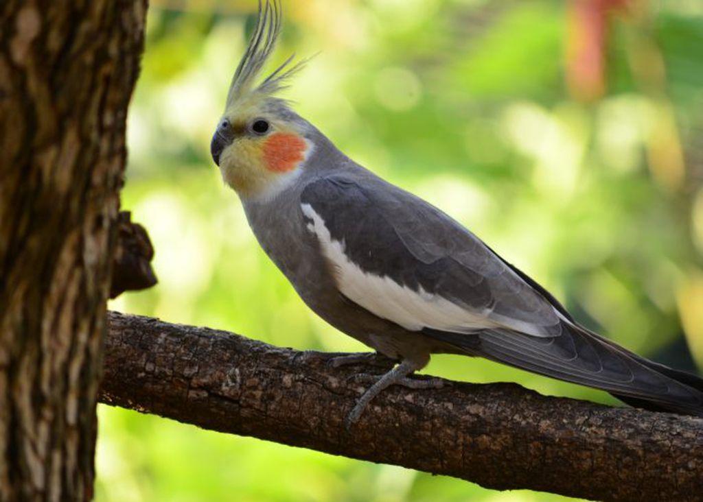 Попугай Корелла - это одна из самых популярных разновидностей