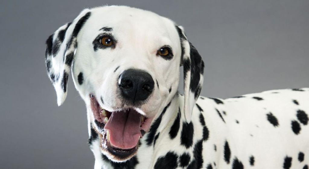 Далматинец очень дружелюбная собака