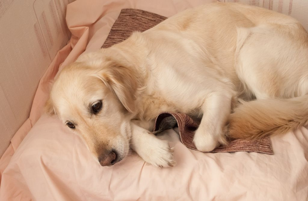 Сколько длится беременность у собак и возможные осложнения