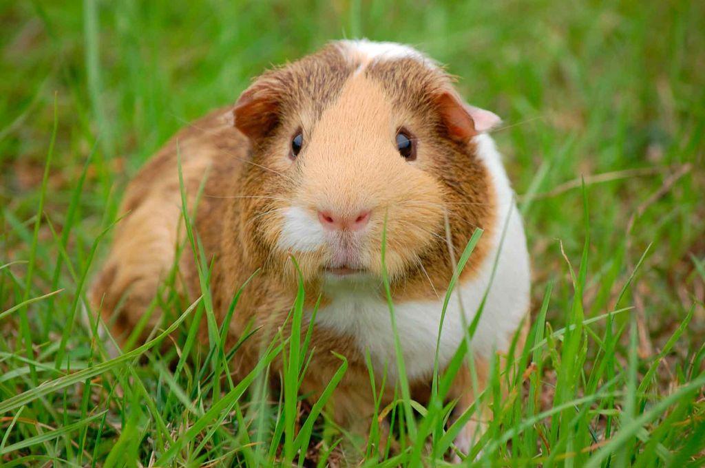 6 лучших видов видов домашних грызунов