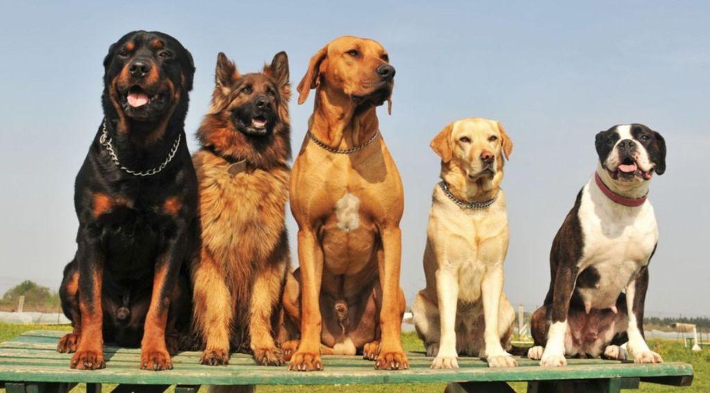 39 самых популярных пород собак в мире