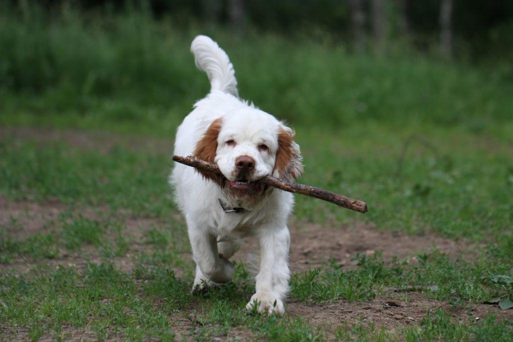 Беря в дом собаку охотничьей породы, человек получает верного помощника и соратника