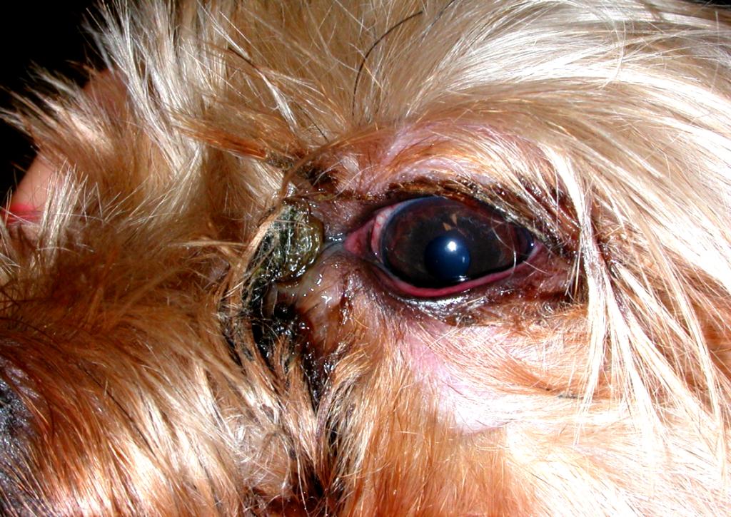 6 причин, почему у собаки гноятся глаза и как лечить в домашних условиях