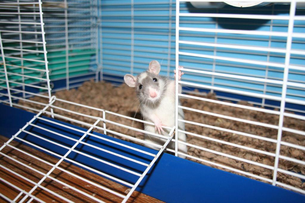 Декоративную крысу надо обеспечить комфортной клеткой с наполнителем, водой и простым кормом