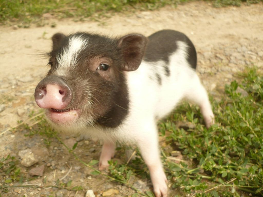 Карликовые свиньи живут порядка 14 лет, но при хорошем уходе и питании будут радовать вас дольше