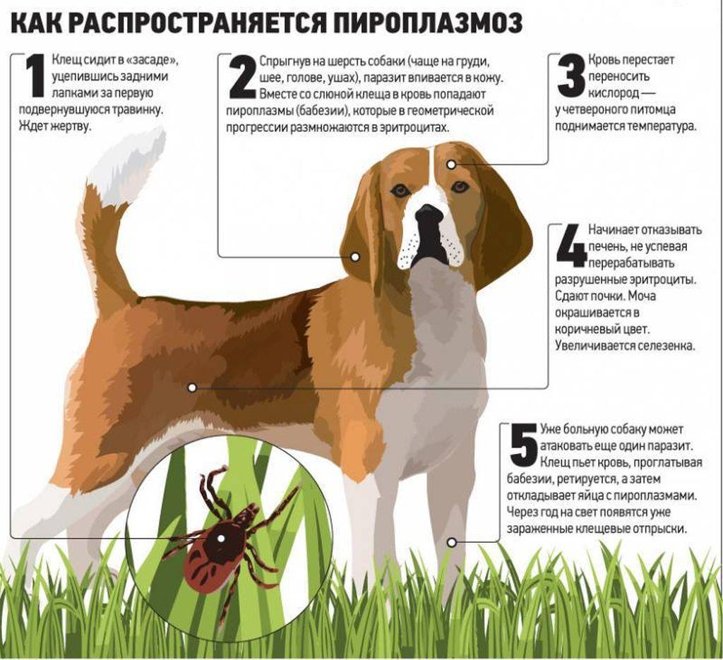 Болезнь возникает при заражении микроорганизмами Piroplasma canis