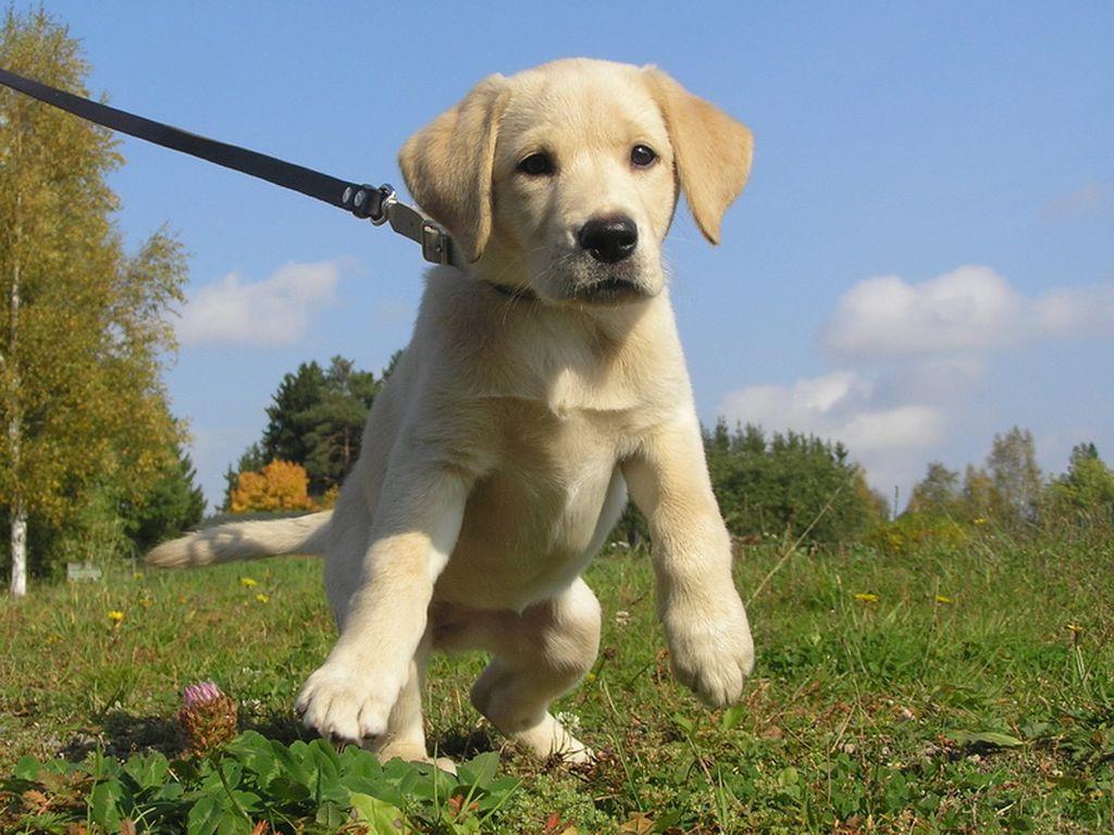 После того, как щенок перестал обращать внимание на ошейник, пристегните к нему поводок