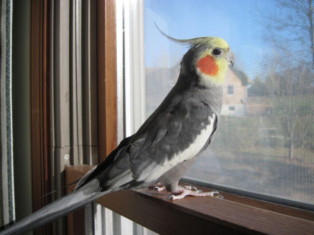 Прежде всего, необходимо обеспечить попугаю длинный световой день