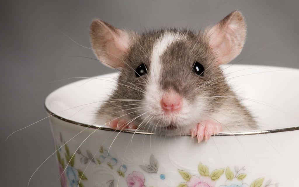 Одним из самых умных и ласковых домашних грызунов считается декоративная крыса