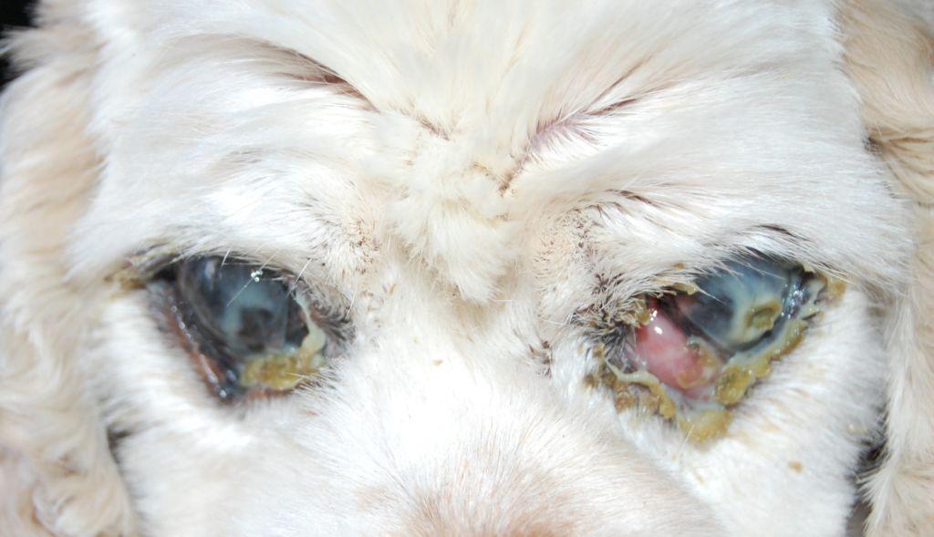 Гнойный конъюнктивит у собаки при сухом кератоконъюнктивите