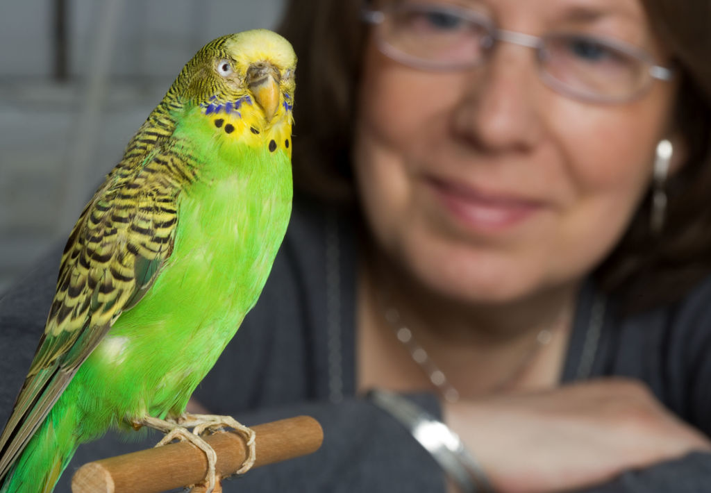 Учить волнистого попугайчика должен обязательно только один человек