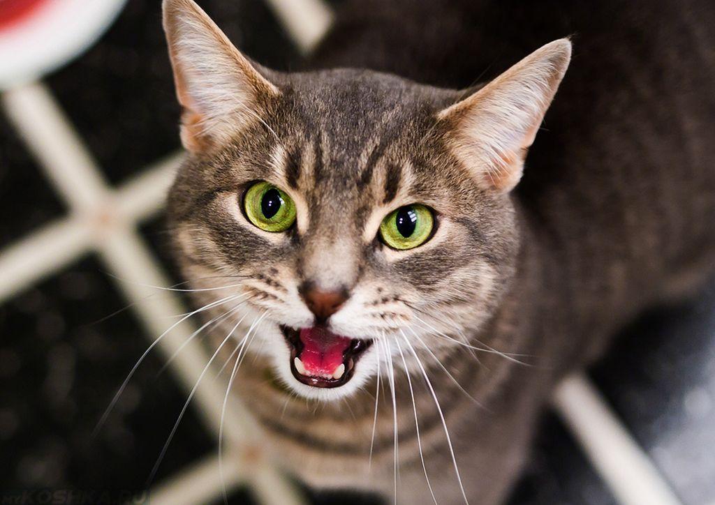 Если кошки хотят есть, они мяукают настойчиво и громко