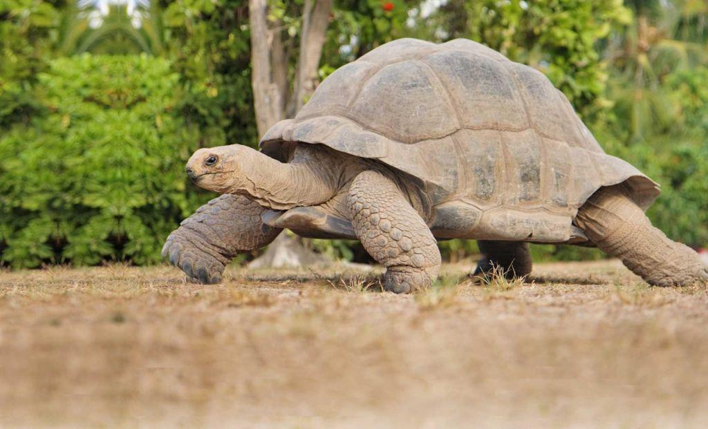 У всех черепах пол закладывается при формировании в яйце