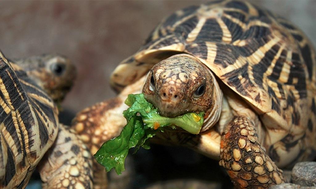 Что едят черепахи в домашних условиях и сколько лет живут