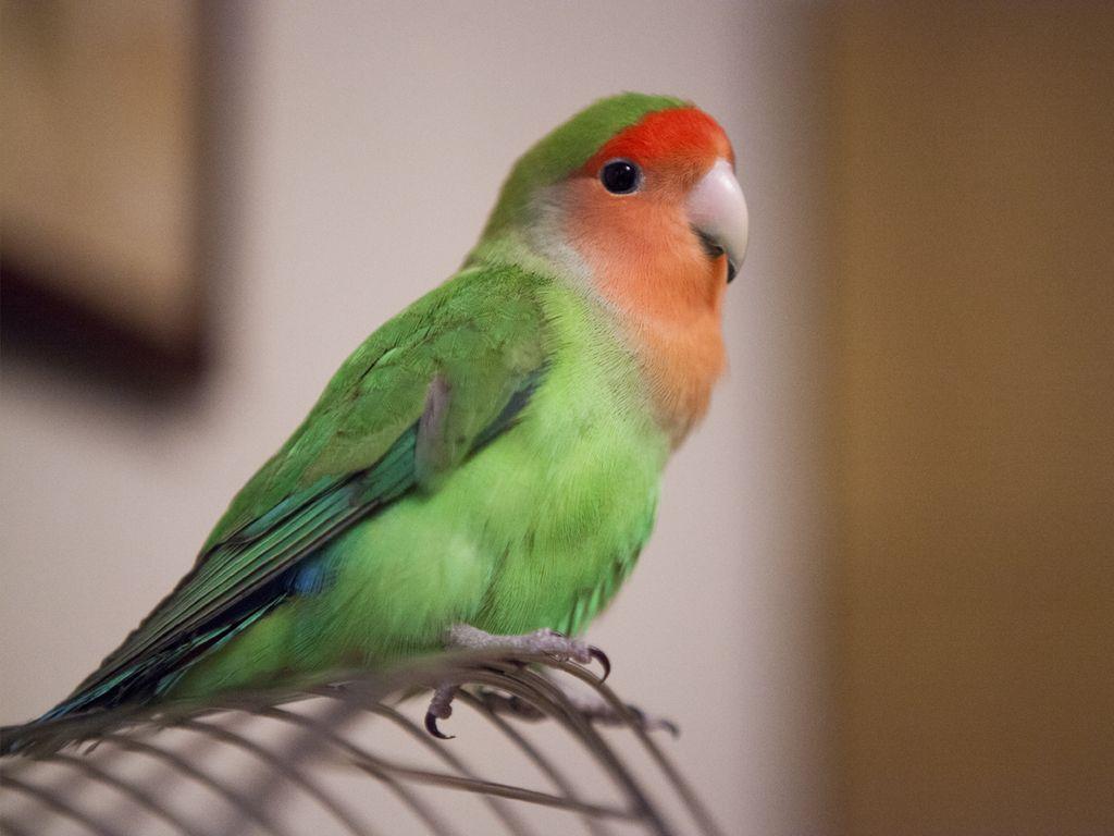 Почему умирают попугаи