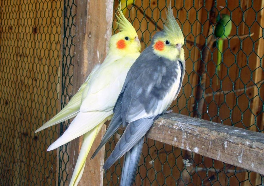 Цвет перьев попугаев Корелла зависит от их разновидности