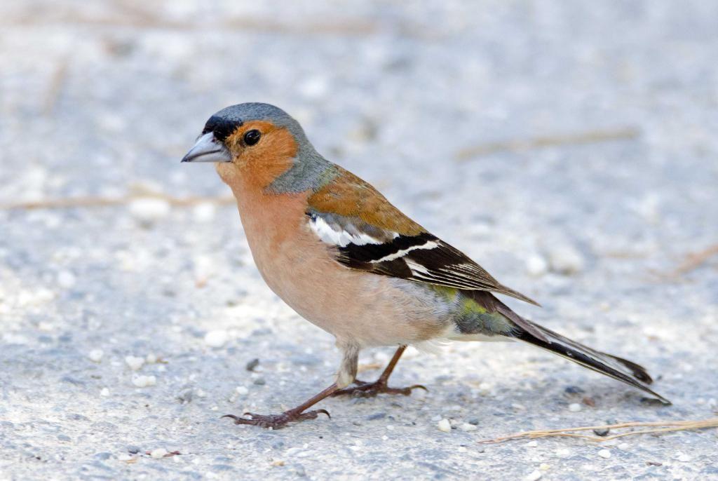 Это маленькая птичка, длина тела достигает всего 14-15 см