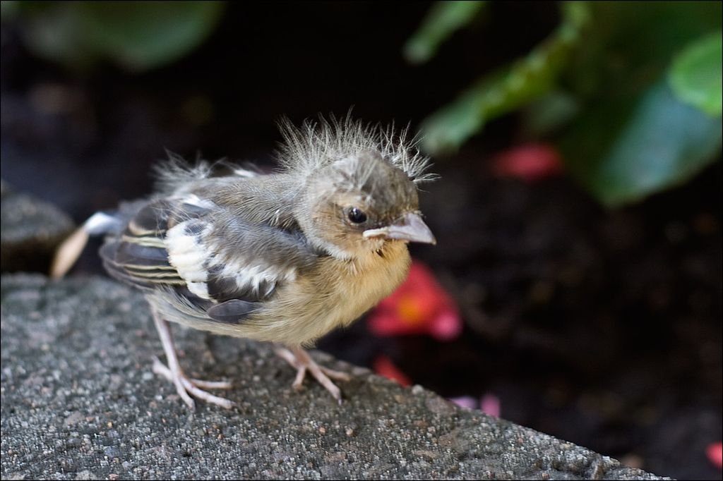 Меньше чем через месяц уже окрепшие птенцы могут летать и самостоятельно питаться