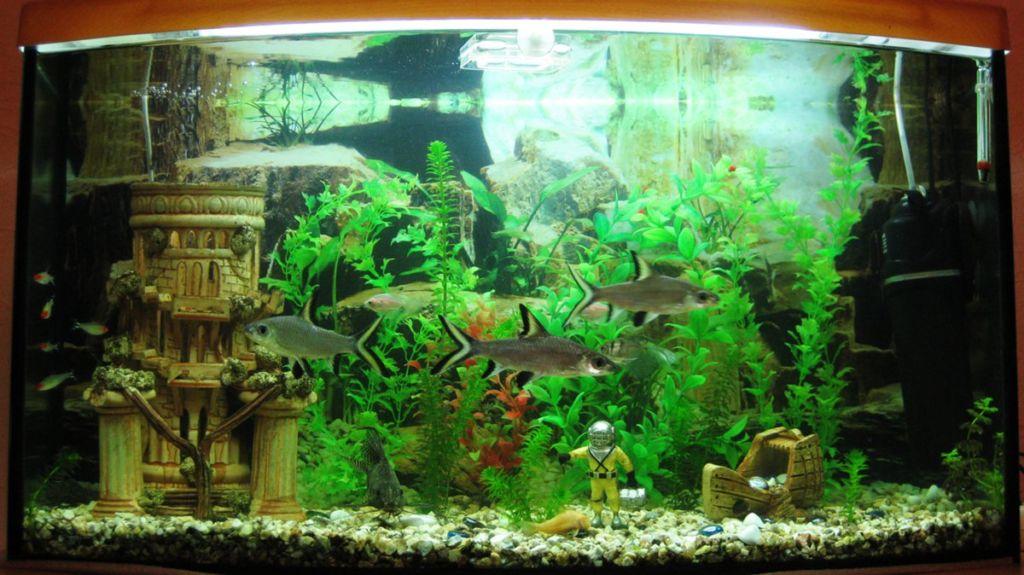 Рыбки акулий бала в аквариуме