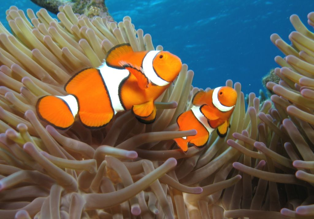 Самец и самка рыба клоун в аквариуме