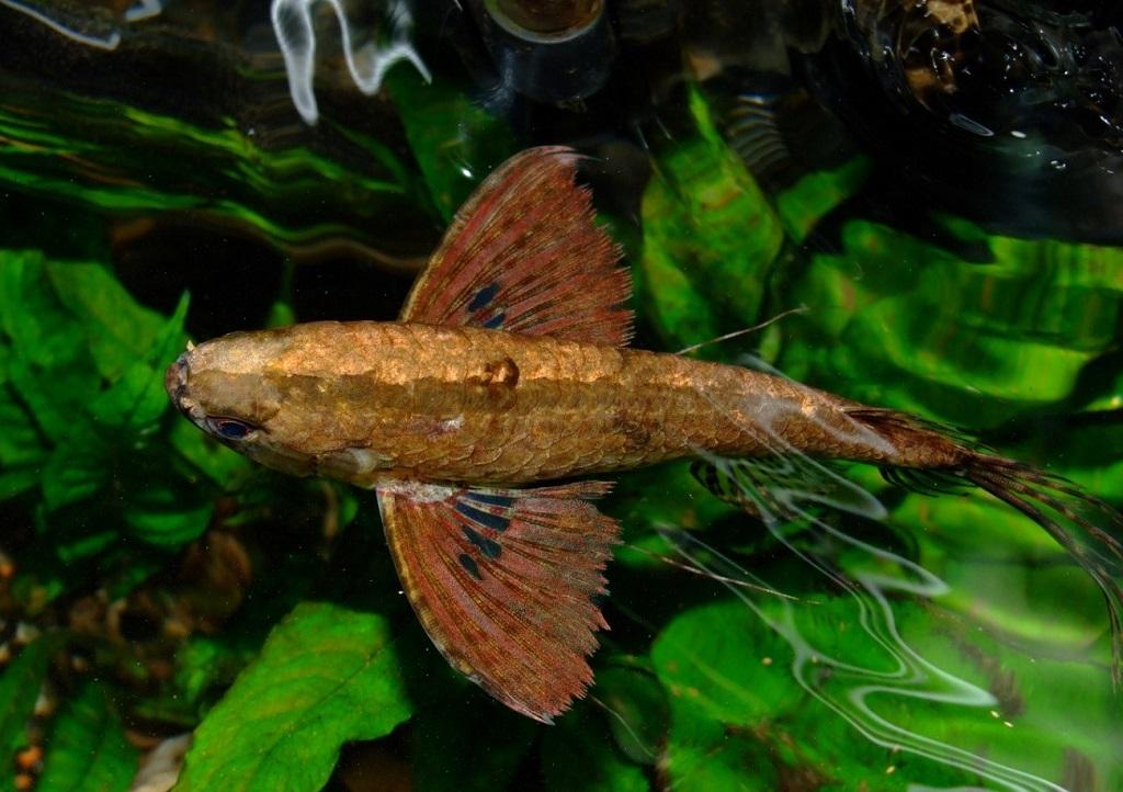 Подробное описание и разведение аквариумной рыбы-бабочки