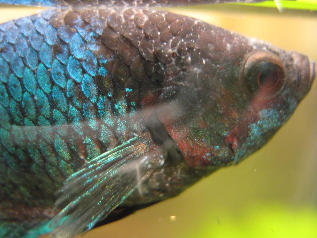 На аквариумной рыбке белые точки