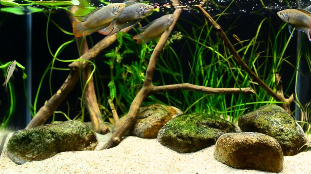 Макроподов кормят хлопьями, гранулами, специальным кормом для петушков