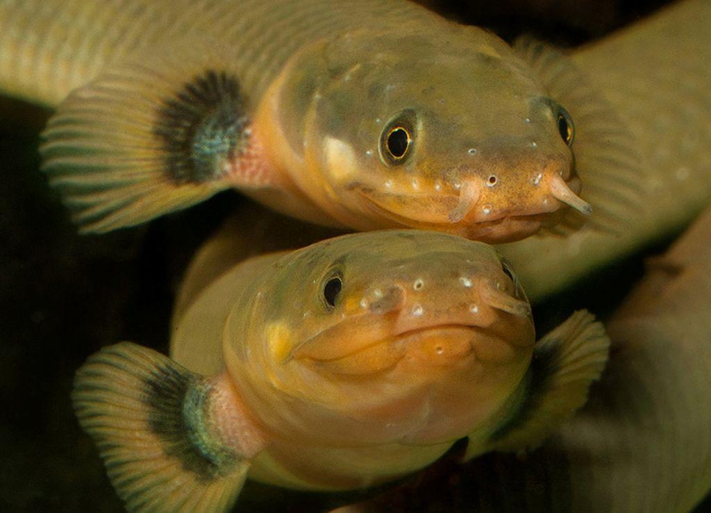 Усы аквариумной рыбы-змеи являются ее органом чувств