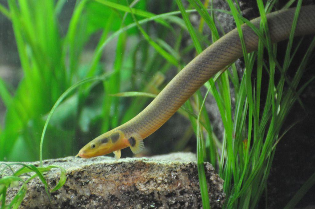 Каламоихта калабарского необходимо содержать в аквариуме объемом не менее 100 литров