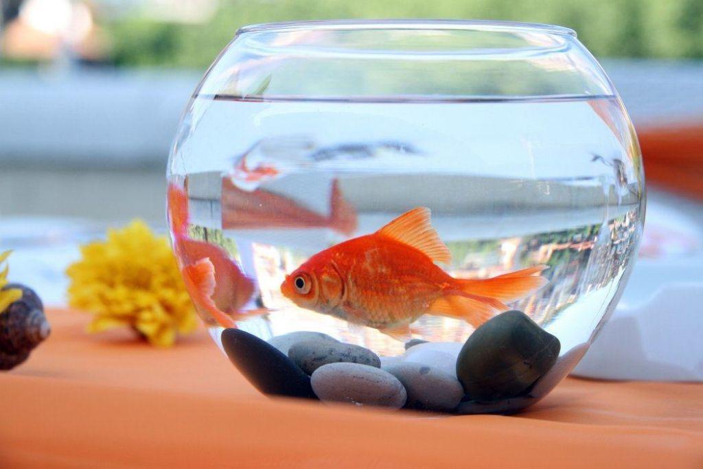 Нельзя помещать вуалехвостов в круглый аквариум, от этого у них портится зрение