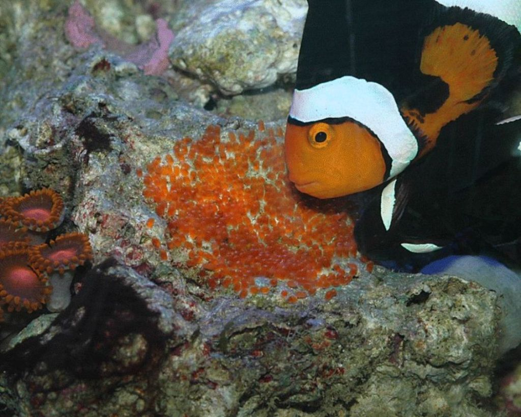 Икринки рыбы клоун на кораллах в аквариуме