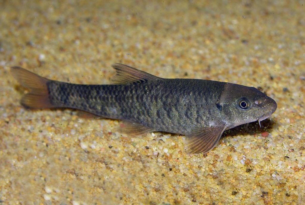 Рыбка достаточно мелкая, средняя длина около 5-6 см