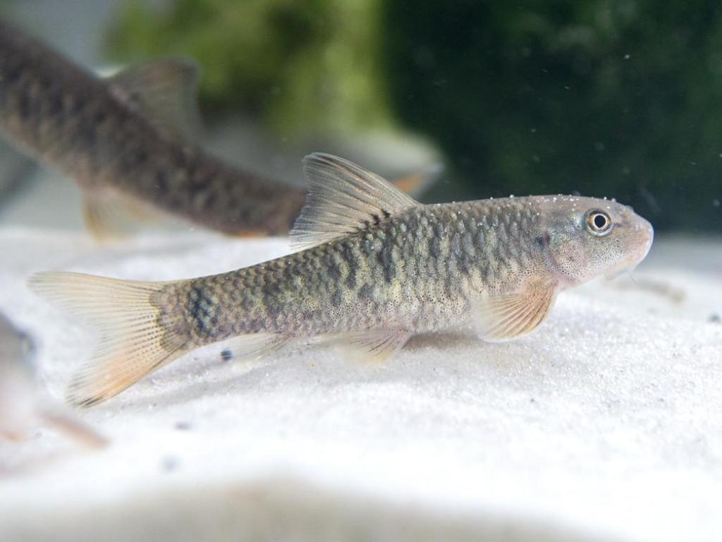 Добиться размножения гарра руфы в домашнем аквариуме получается лишь у немногих