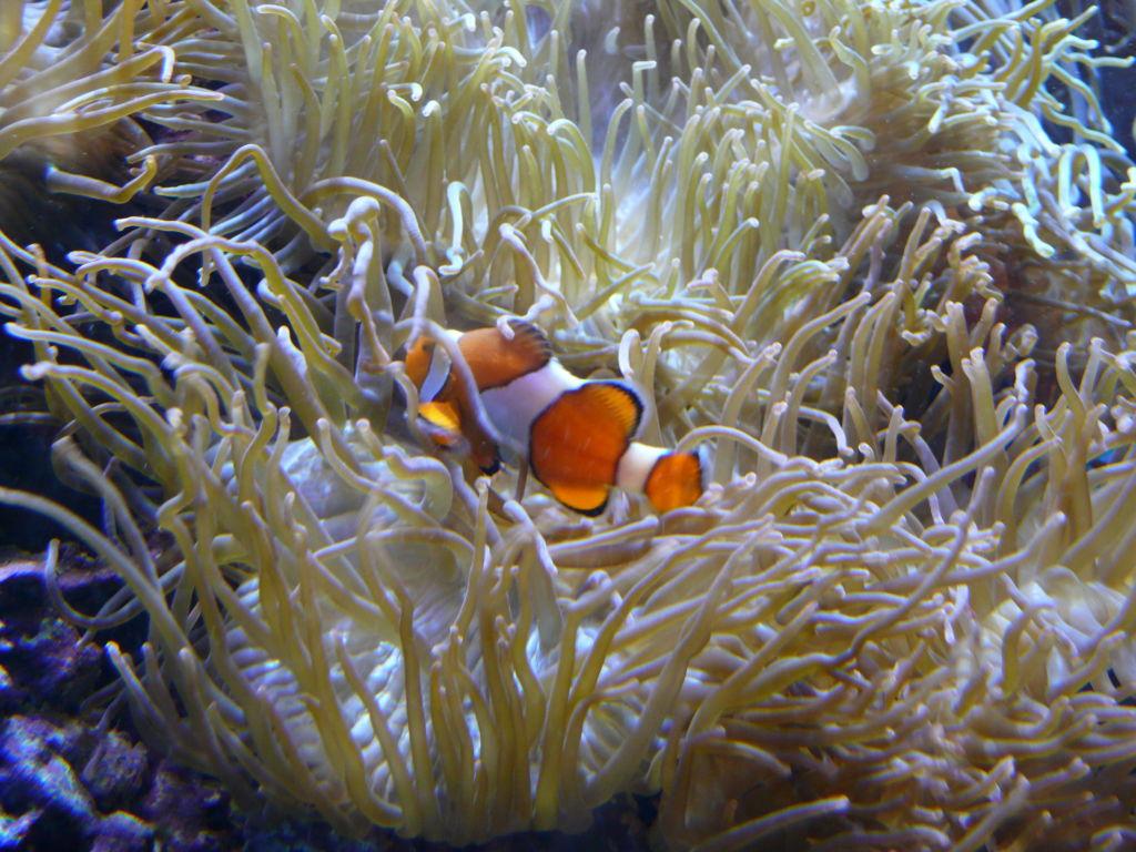 Рыба клоун и морская актиния
