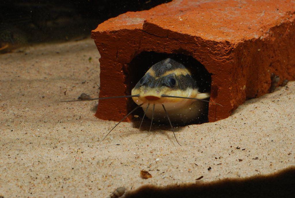 Платидорас полосатый любит укрытия и живет преимущественно на донной части аквариума